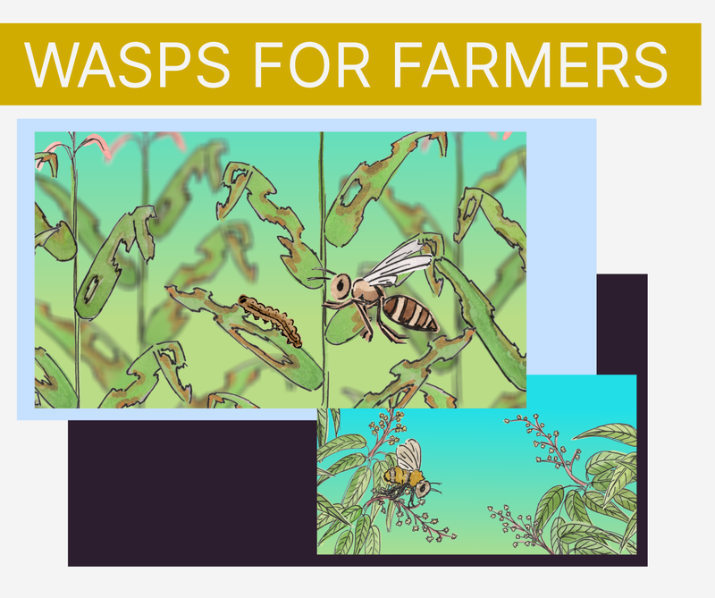 Image with the title 'wasps for farmers' and two pictures - one cartoon-like illustration of a wasp about to land on a caterpillar that has been eating some maize leaves, and another of a bee sat on a mango flower.