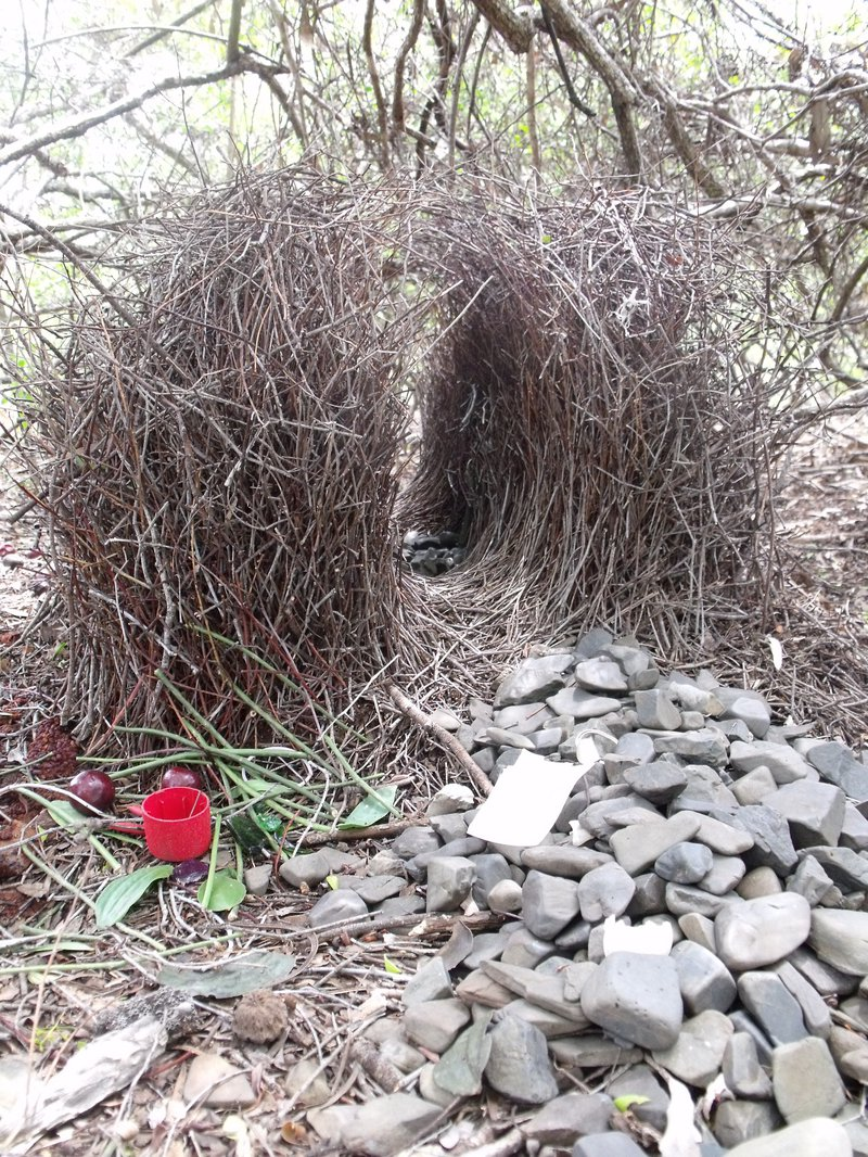 Bower made by a bower bird, consisting of lots of twigs made into a tunnel-like structure. In front of the tunnel are various grey stones, a red plastic cup, some leaves, and what might be fruit.